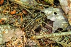 Appalachian Trail toad