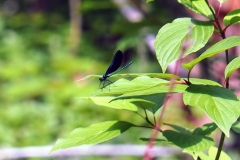 So pretty! Ebony Jewelwing damselflies were fluttering everywhere. We caught this one resting between flights.