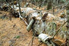 Fallen paper birch log