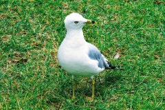 Curious Grass Gull