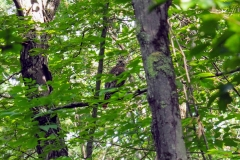 Redtailed hawk spied in the canopy